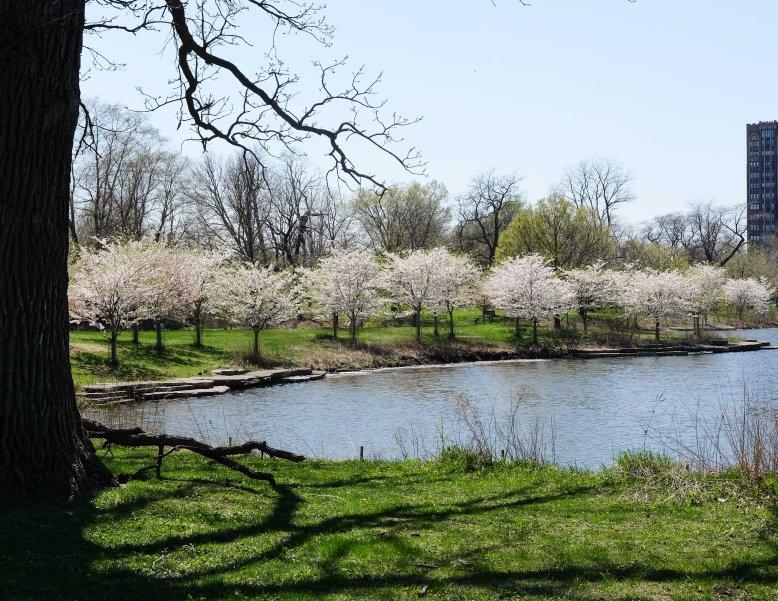 CherryBlossomsChicago6.jpg