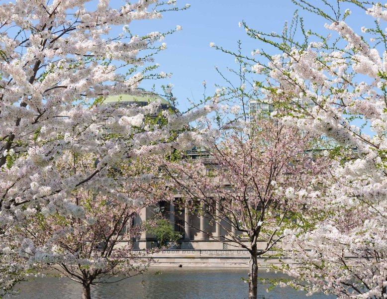 CherryBlossomsChicago8.jpg